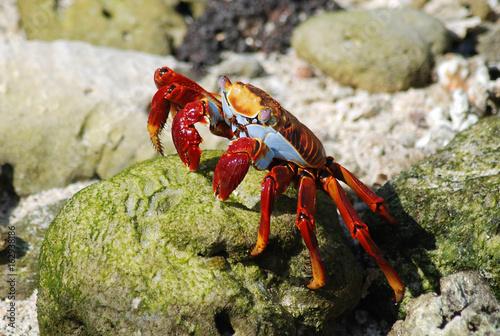 Galapagos Crab - 0655