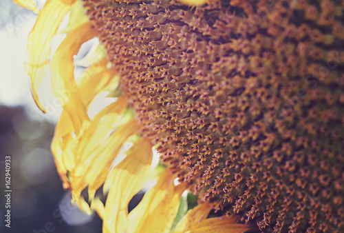 Sunflowers garden. Sunflowers have abundant health benefits. © Natalia