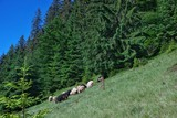 Sheep are grazed against the background of the forest, the Carpathians, Ukraine - 162945137