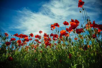 poppy seed or red flower in field on blue sky