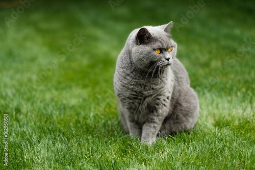 British Blue cat sitting on lawn