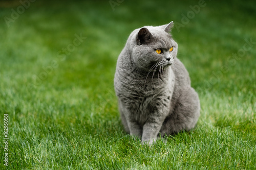 British Blue cat sitting on lawn Poster