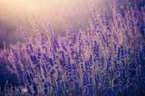 Lavender flowers, blooming in sunlight - 162953189