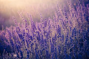 Lavender flowers, blooming in sunlight