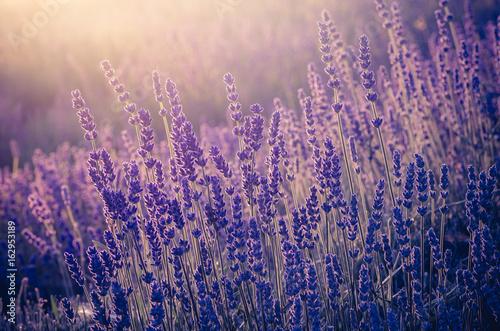 Zdjęcia na płótnie, fototapety na wymiar, obrazy na ścianę : Lavender flowers, blooming in sunlight