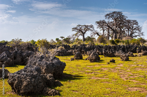 Foto op Plexiglas Baobab Bare reefs at low tide. Baobab trees. Africa. Kenya. Indian Ocean.