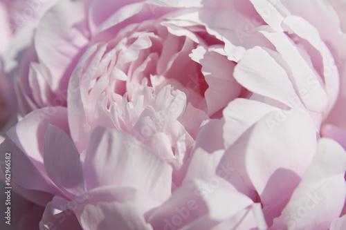 Fototapeta Close up of a beautiful pink peony.