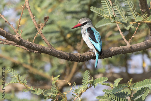 woodland Kingfisher who sits on a branch above the water and looks turning his head down