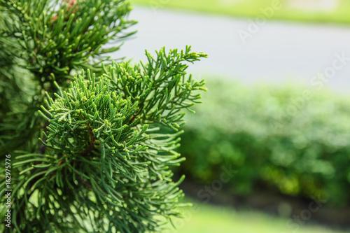 Pine leaves in garden nature outdoor