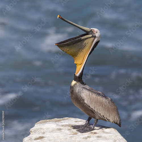 Brown Pelican stretching its pouch open - San Diego, California