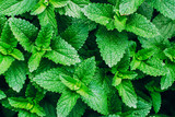Green Mint Plant Grow Background. - 162981368