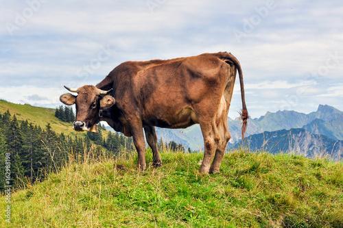 Braune Kuh auf grünem Berghügel in den bayerischen Alpen Poster