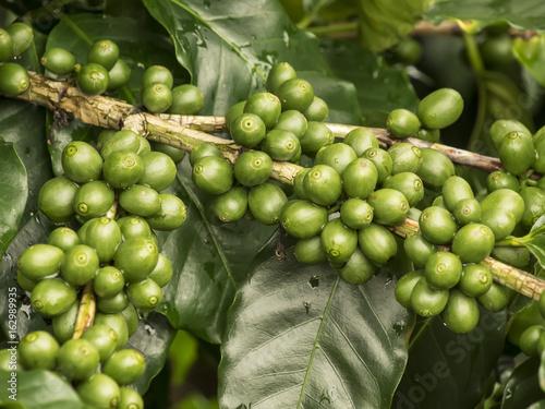 Fotobehang Koffiebonen plantación de granos de café