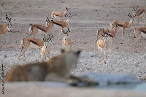 Springbock Herde mit Löwe im Vordergrund, Etosha Nationalpark, Namibia