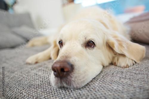 Schnauze von Golden Retriever Hund