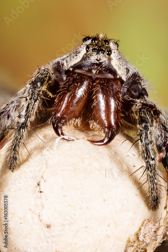 Spotted Wolf Spider, Wolf Spider on the cocoon.