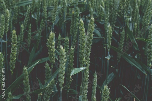 Vintage retro look green wheat from above