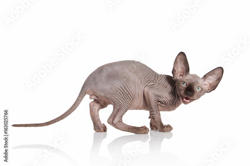 Cat. Elf cat kitten on white background Poster