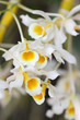 close up of beautiful white orchid flower as background.
