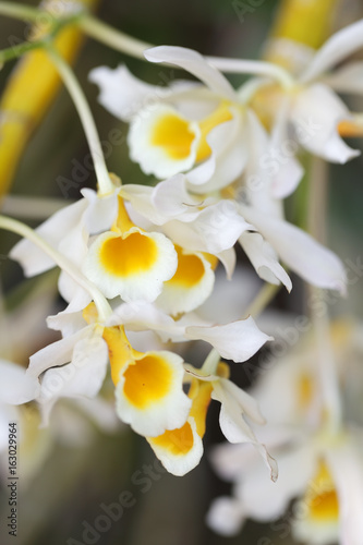 Fototapeta close up of beautiful white orchid flower as background.