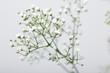 Close up of little white Gypsophila flowers