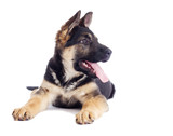 Shepherd puppy looking at the white background