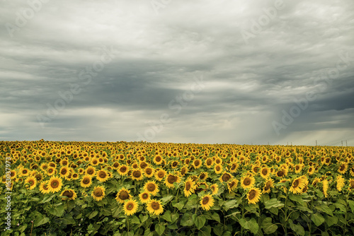 Field with sunflowers and stormy sky in the clouds. A spacious field to the horizon.