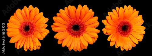 Fotobehang Gerbera Orange gerbera flower on a black background, front view and side view