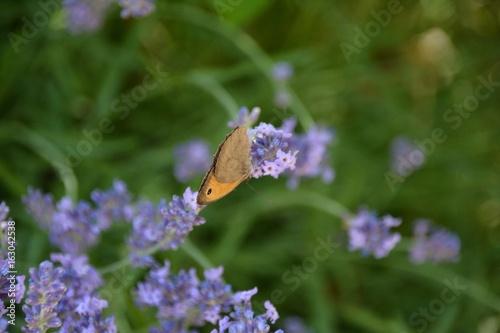Papillon et lavande Cendrine PERROT