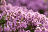 Flowering thyme - 163049517