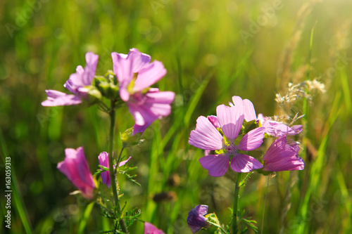 Wild mallow flowers isolated.
