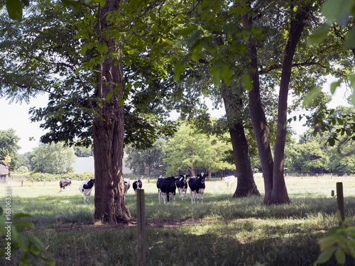 Foto op Aluminium Antwerpen cows stand in meadow north of antwerp in belgium