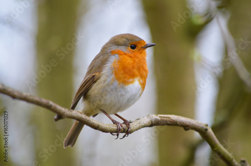 Poster Robin Red Breast Perched On A Branch
