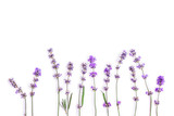 Fresh lavender flowers on a white background. Lavender flowers mock up. Copy space. - 163097315