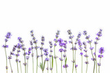 Fresh lavender flowers on a white background. Lavender flowers mock up. Copy space.
