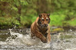 Running Siberian tiger (Amur tiger - Panthera tigris altaica) in his natural environment in the river in beautiful country