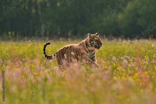 Running Siberian tiger (Amur tiger - Panthera tigris altaica) in his natural environment in beautiful country