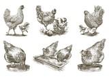 chicken breeding. animal husbandry. vector sketches on white - 163113370