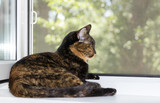 Domestic cat lies on windowsill on summer day.