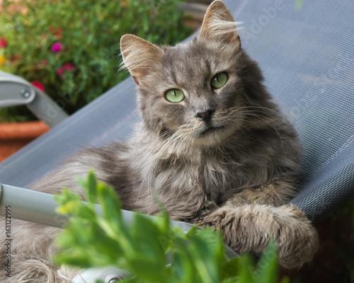 Graue Langhaarkatze entspannt auf Liegestuhl
