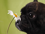 Funny face bulldog dog sniffing a flower. - 163127709