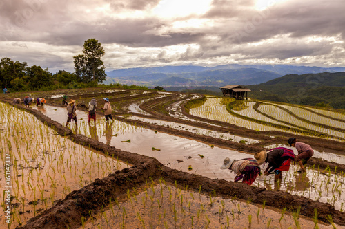 Aluminium Rijstvelden Rice farmers transplant in the paddy field on rice field terraced in north Thailand, Mae jam, Chiang Mai, Thailand.
