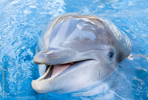 Fototapeta dolphin in the water close look