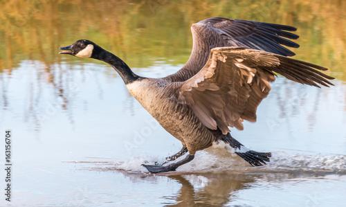 Papiers peints Nature Canada goose landing