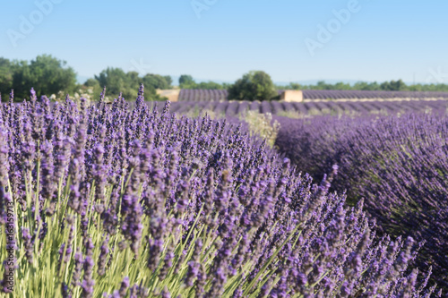 Scented lavender flower on the French Provence near Valensole.