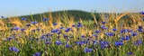 Blue cornflowers in wheat field.