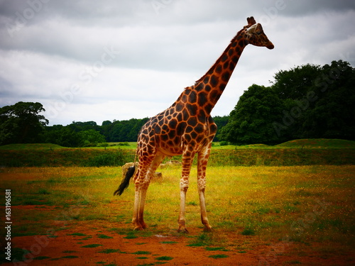 Poster Giraffe standing in a field