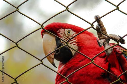 Arara vermelha presa no zoológico