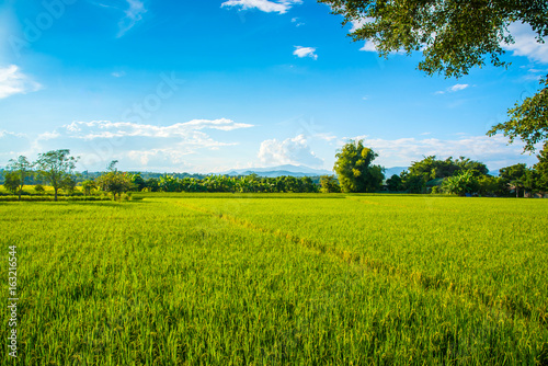 Beautiful rice field landscape with blue sky and cloud.