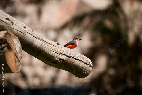 Poster Red little bird over a branch